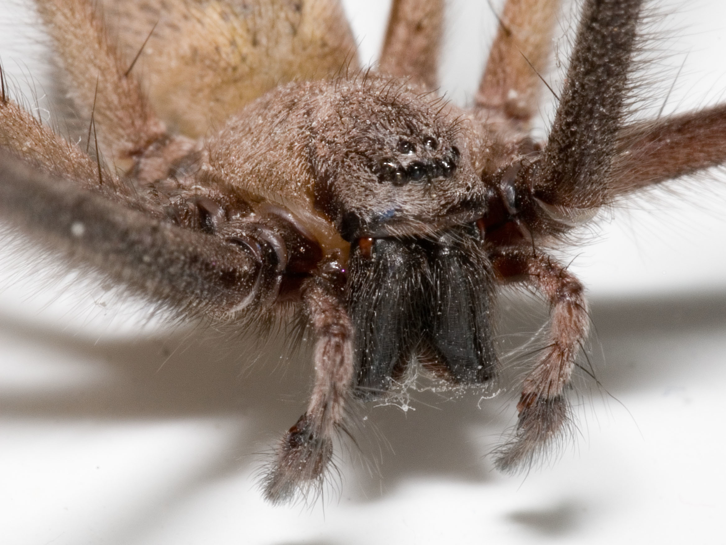 Image of cardinal spider