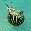 Image of puffer fishes
