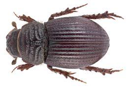 Image of <i>Brindalus porcicollis</i> (Illiger 1803)