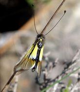 Image of <i>Libelloides baeticus</i> (Rambur 1838)