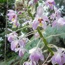 Image of <i>Spathoglottis pacifica</i> Rchb. fil.