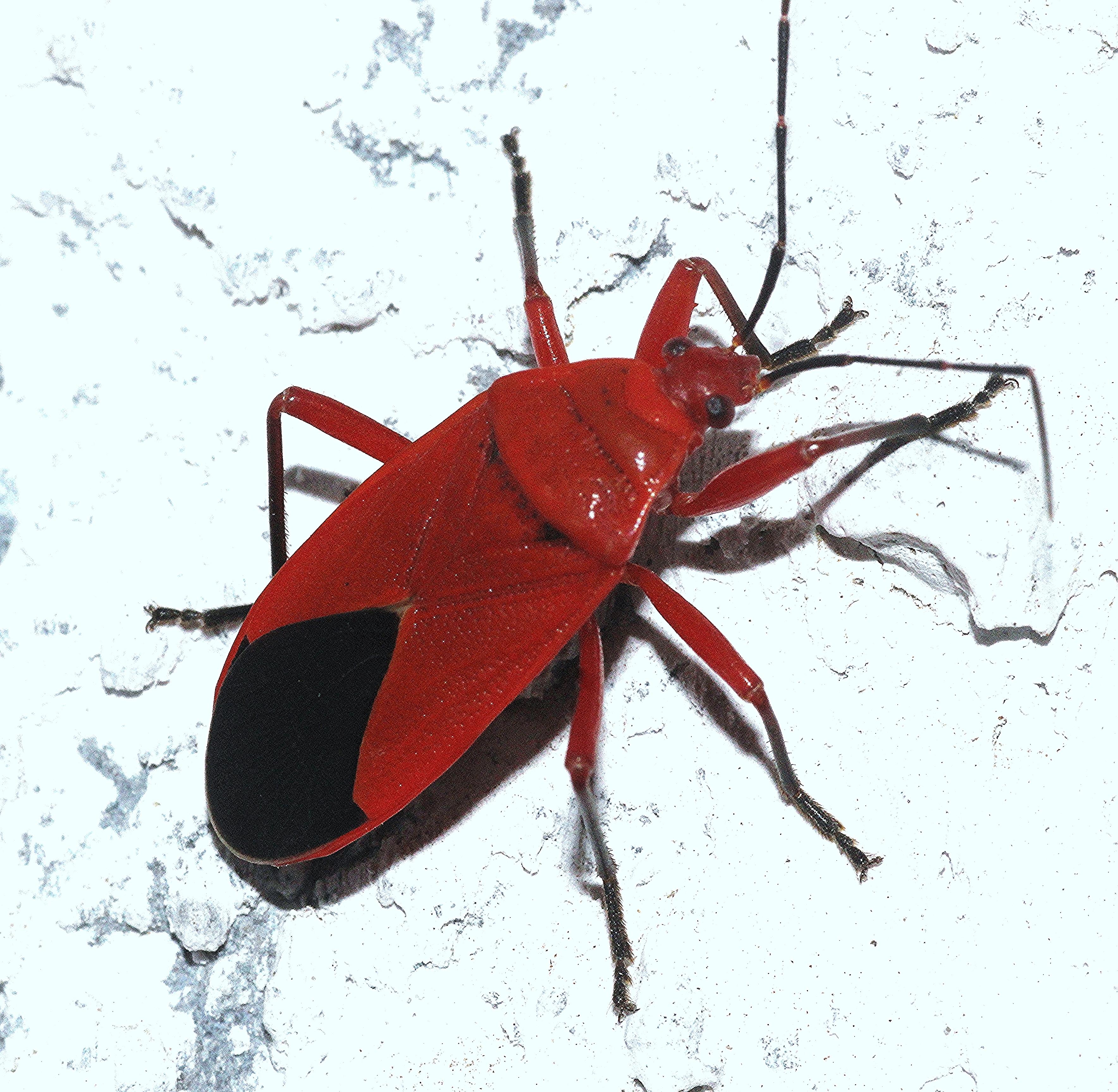 Image of <i>Antilochus conquebertii</i>