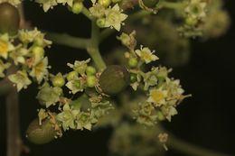 Image of <i>Ziziphus rugosa</i> Lam.