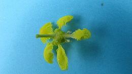 Image of <i>Banisteriopsis nummifera</i> (A. Juss.) B. Gates