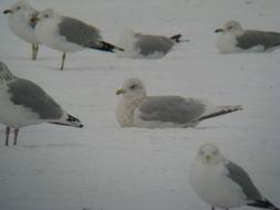 Image of Kumlien's Gull