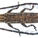 Image of <i>Tetraglenes hirticornis</i> (Fabricius 1798)