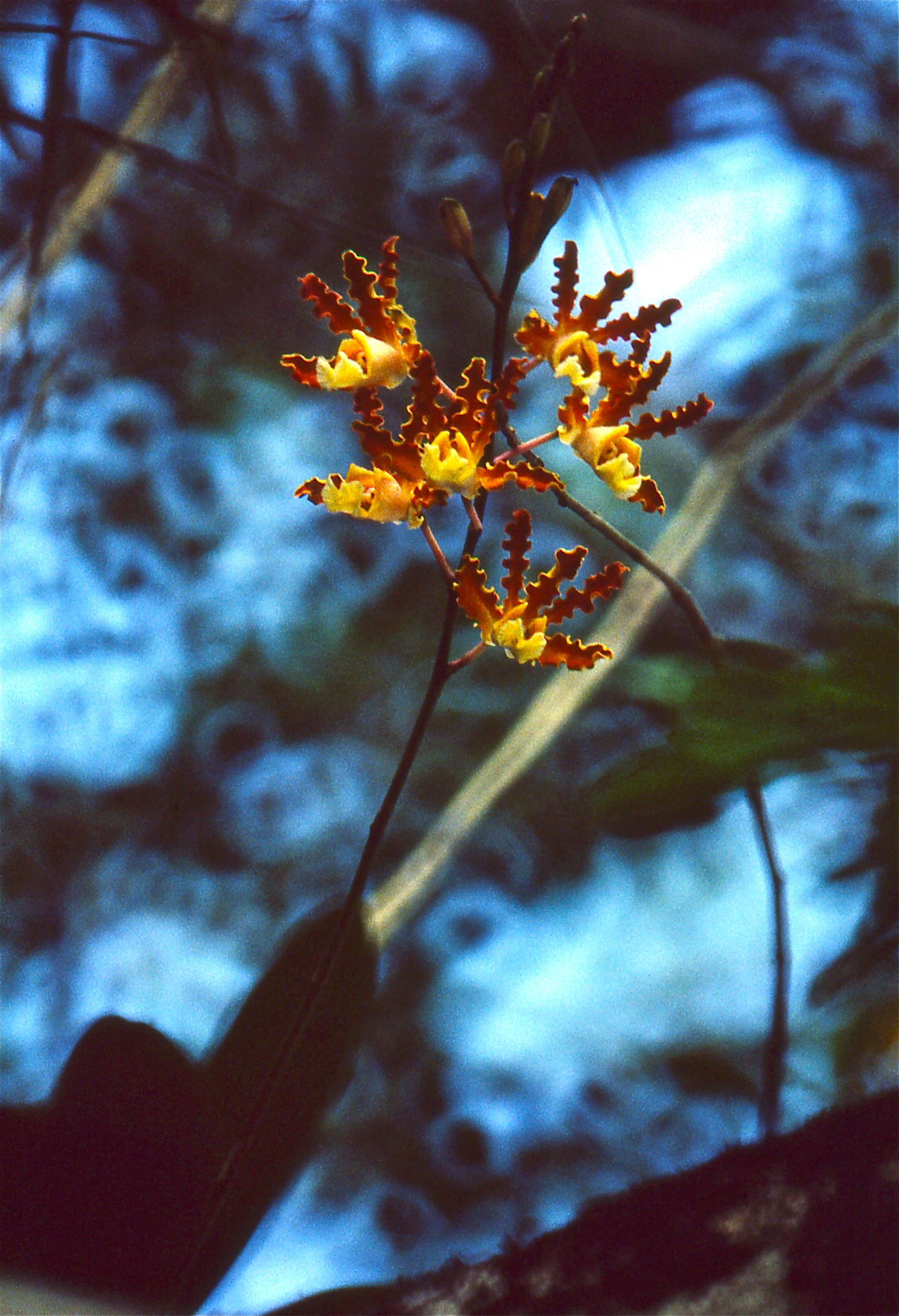 Image of <i>Myrmecophila brysiana</i> (Lem.) G. C. Kenn.