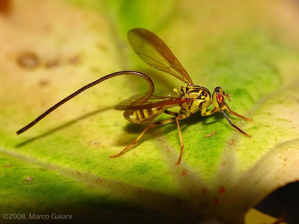 Image of Papaya Fruit Fly