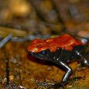 Image of Splashback Poison Frog
