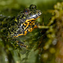 Image of Oriental fire-bellied toad