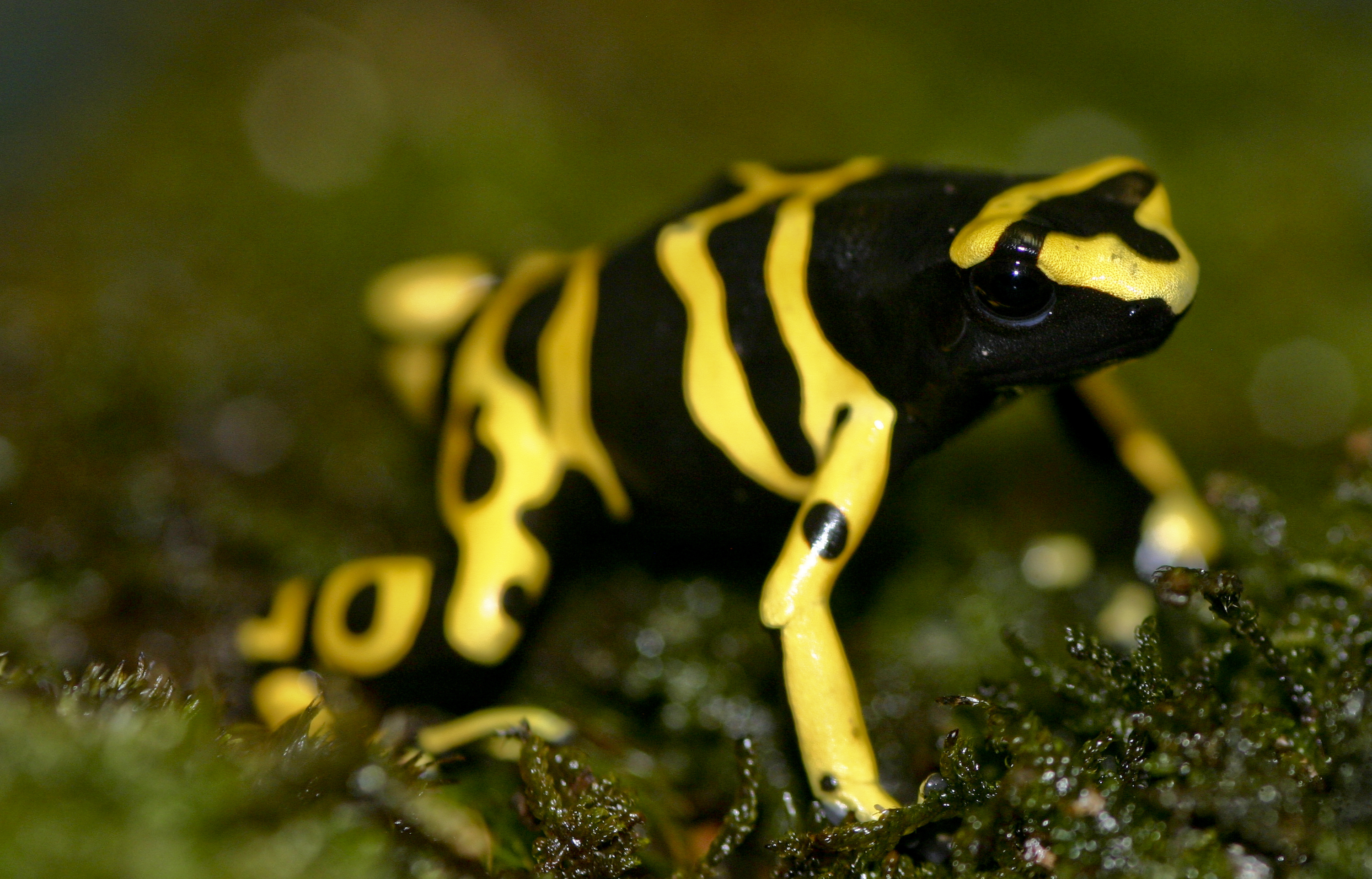 Image of Yellow-headed Poison Frog