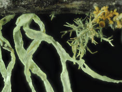 Image of farinose cartilage lichen