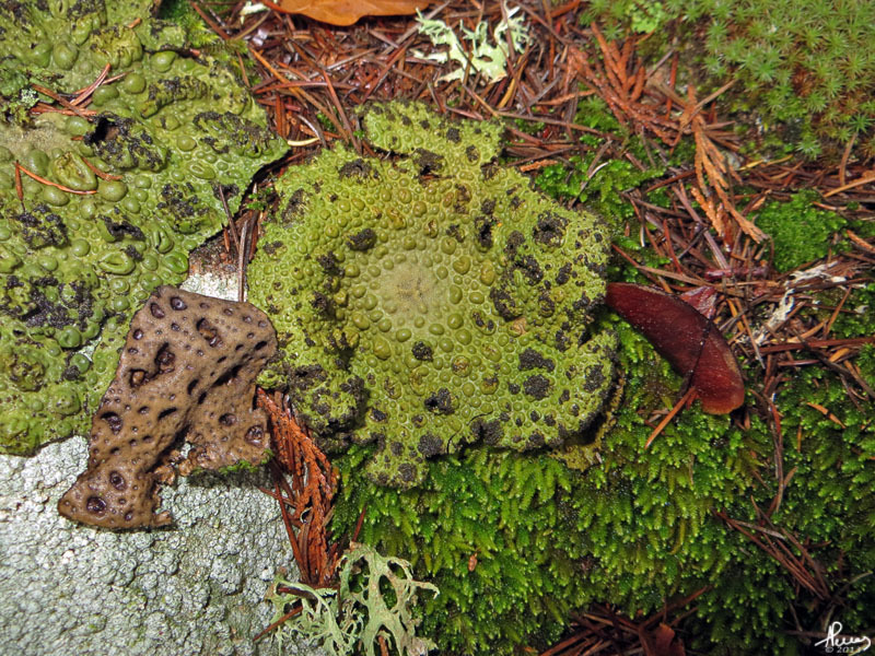 Image of blistered navel lichen