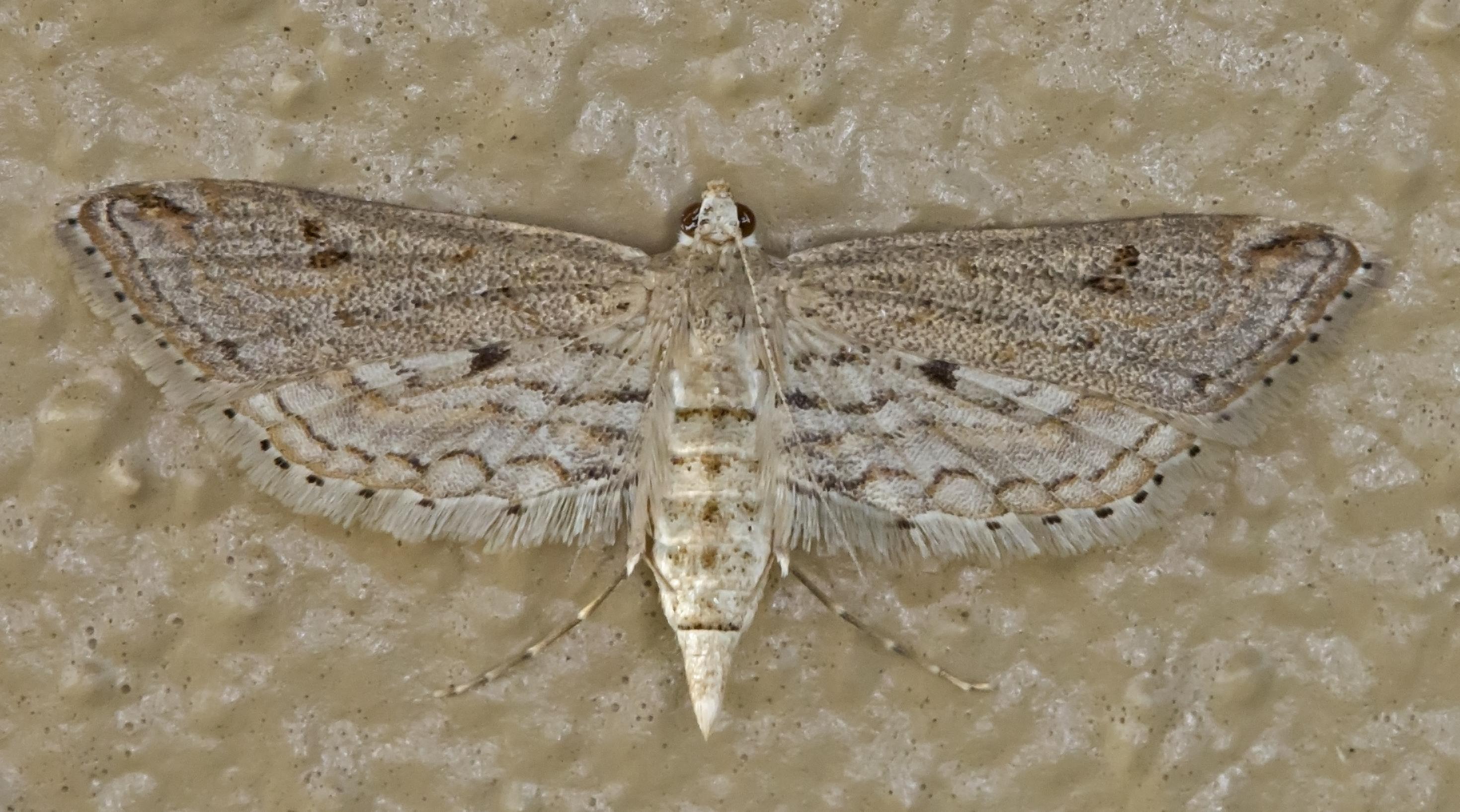 Image of ParaPoynx allionealis