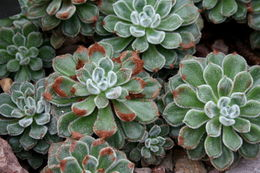 Image of <i>Echeveria setosa</i> Rose & Purpus