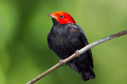 Image of Red-headed Manakin