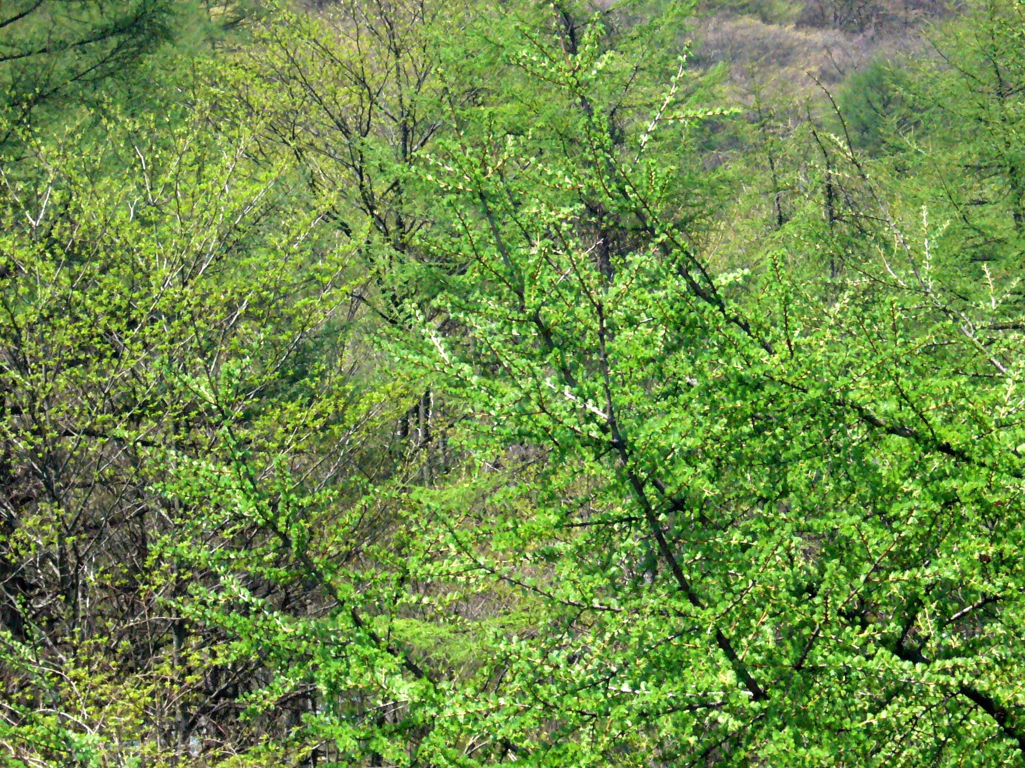 Image of Japanese Larch