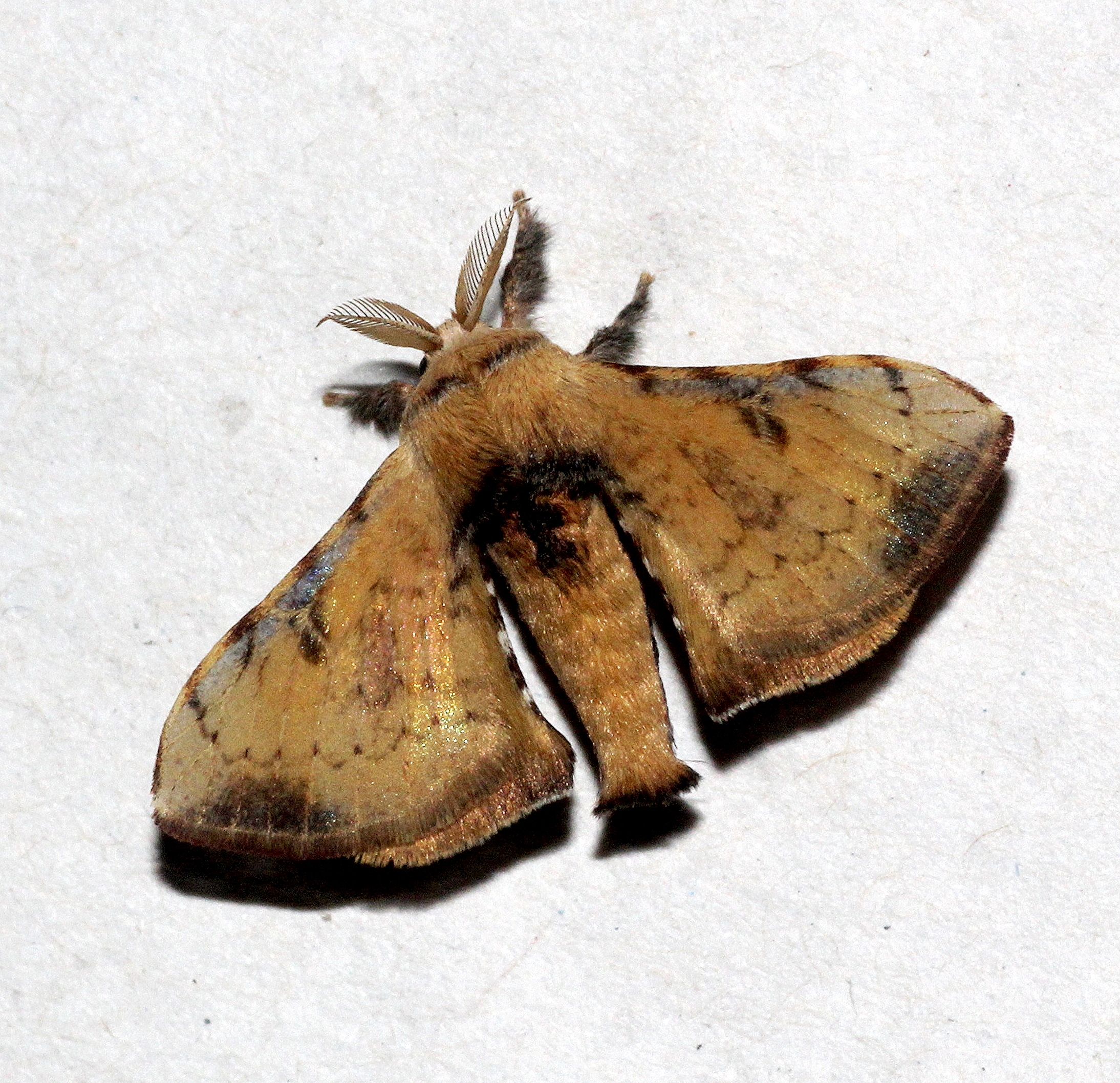 Image of <i>Trilocha varians</i> (Walker 1855)