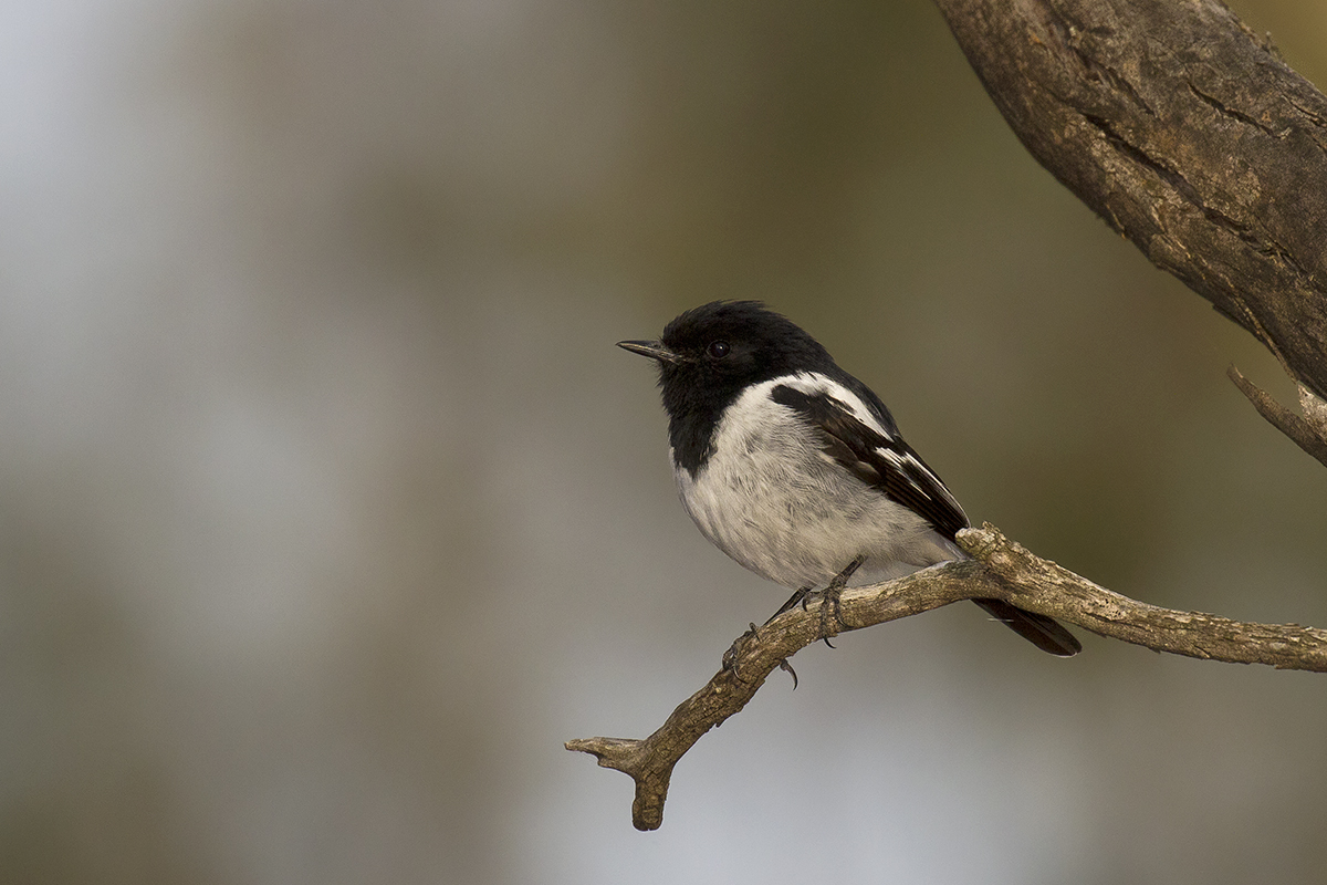 Image of Hooded Robin