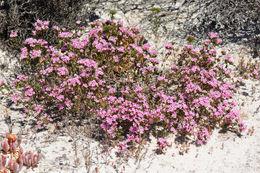 Image of <i>Frankenia glomerata</i> Turcz.