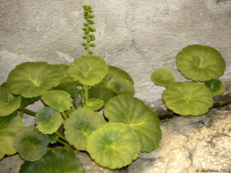 Image of <i>Umbilicus rupestris</i> (Salisb.) Dandy