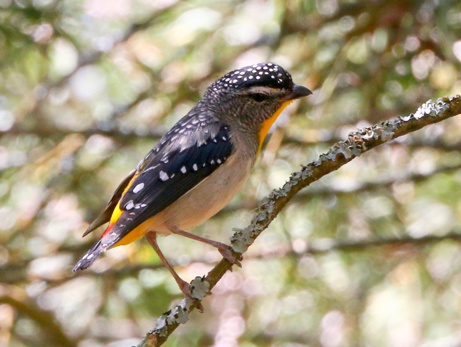 Image of <i>Pardalotus punctatus xanthopygus</i>