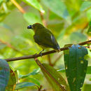 Image of Yellow-breasted Flowerpecker