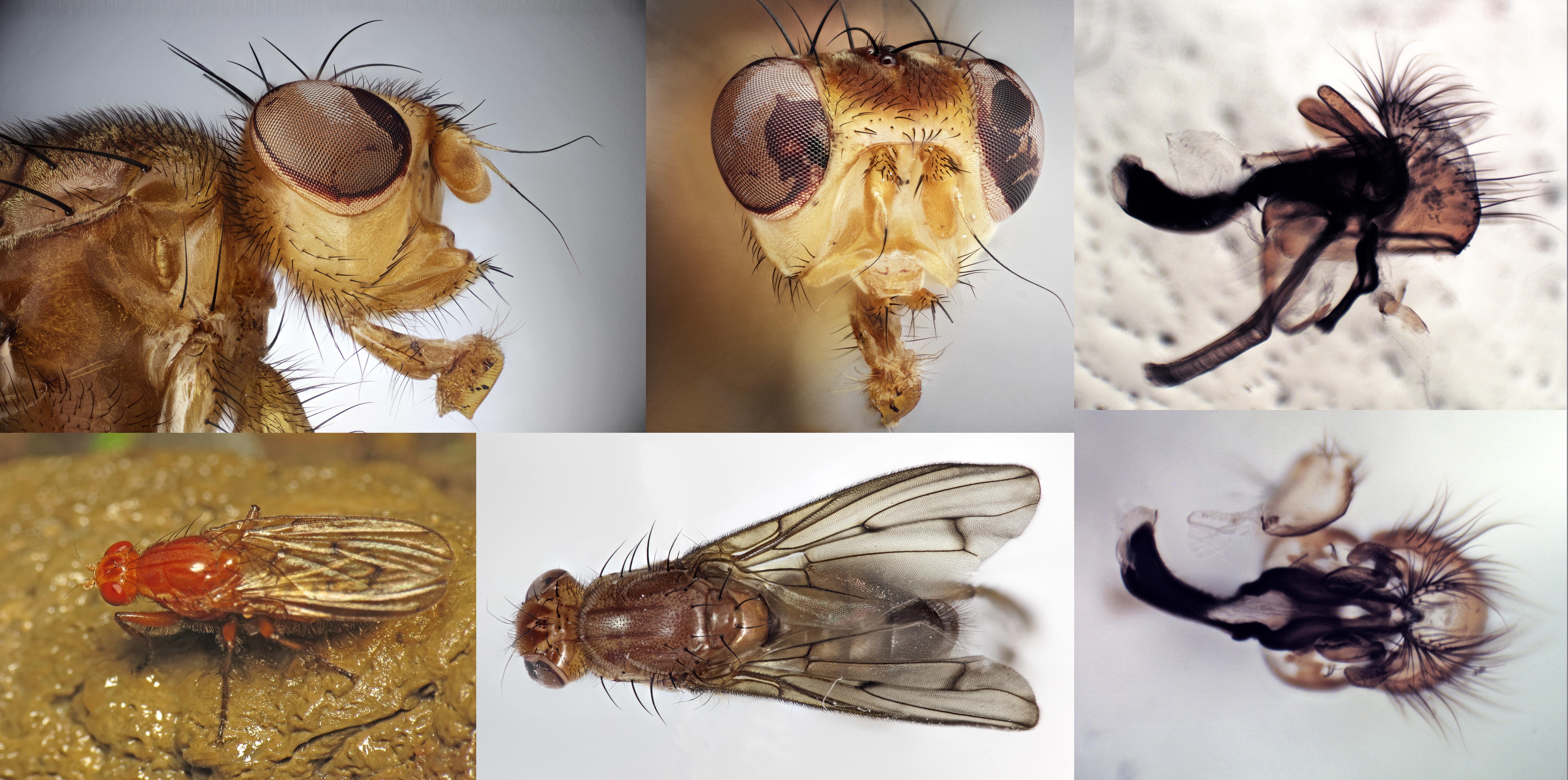 Image of <i>Dryomyza anilis</i> Fallen 1820