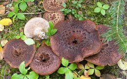 Image of <i>Sarcodon imbricatum</i>