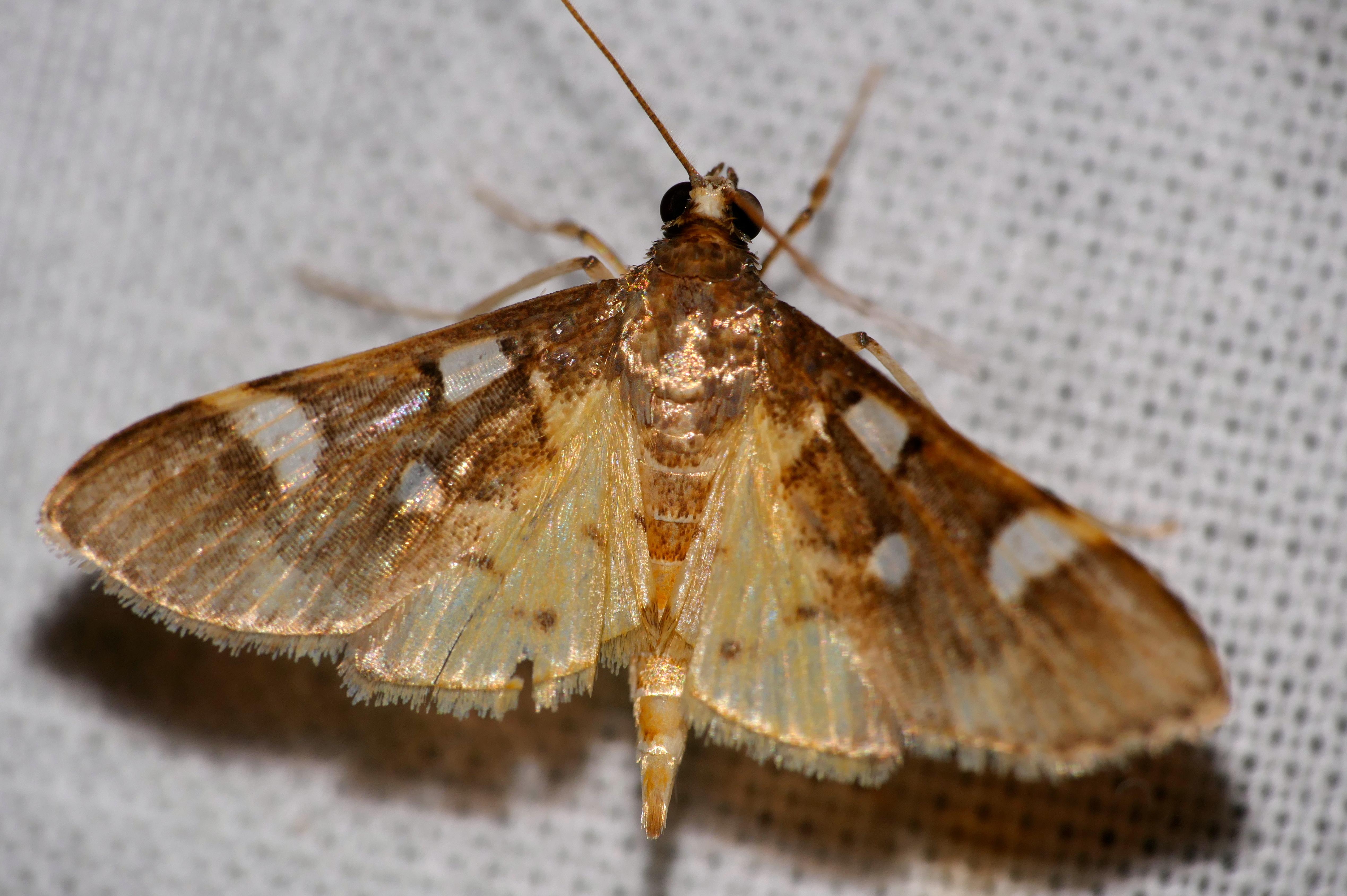 Image of <i>Cotachena pubescens</i> Warren 1892