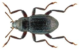 Image of <i>Riolus subviolaceus</i> (Muller 1817) Muller 1817