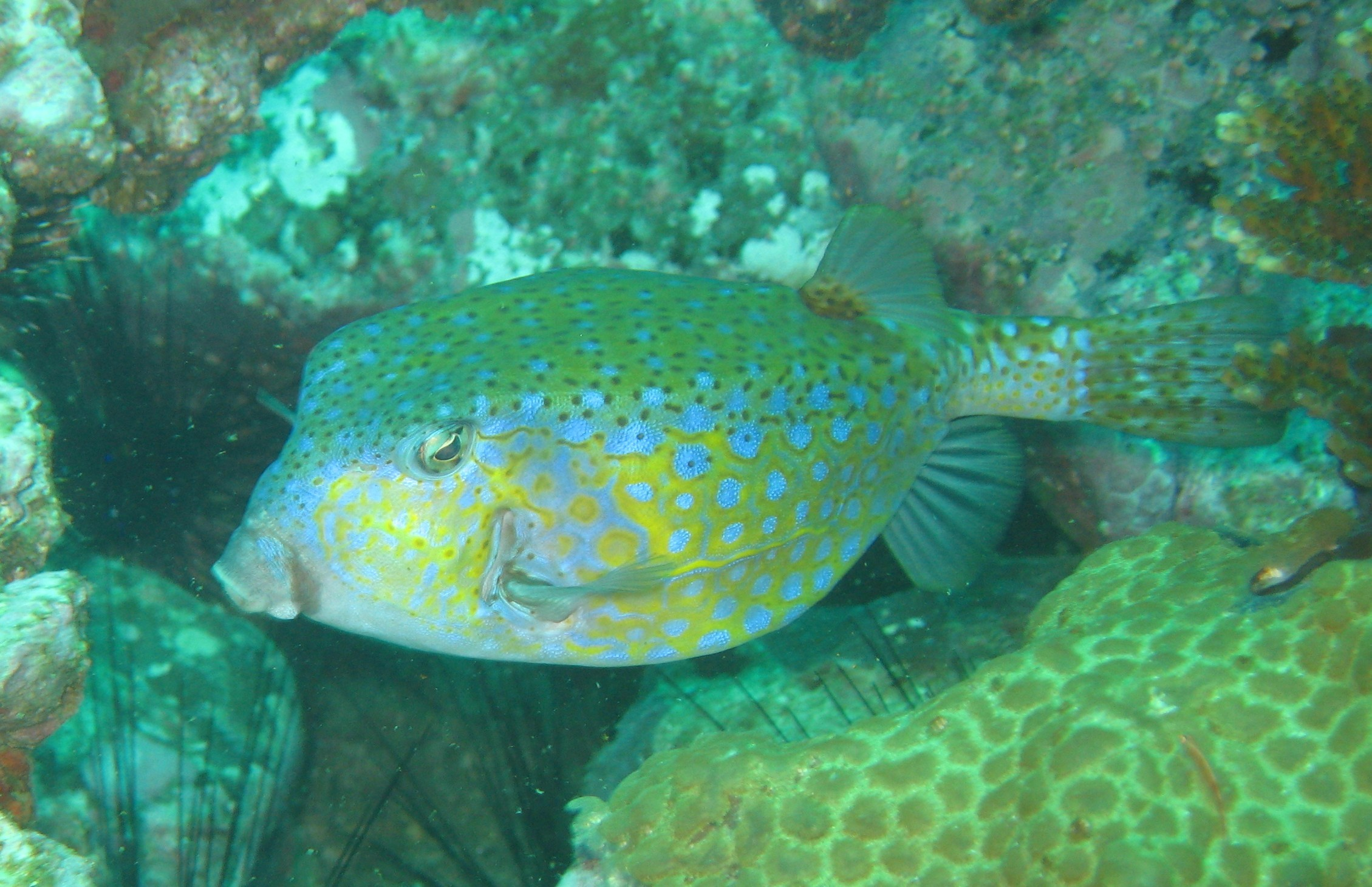 Image of Bluespotted boxfish