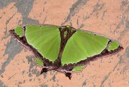 Image of <i>Agathia laetata</i> Fabricius 1794