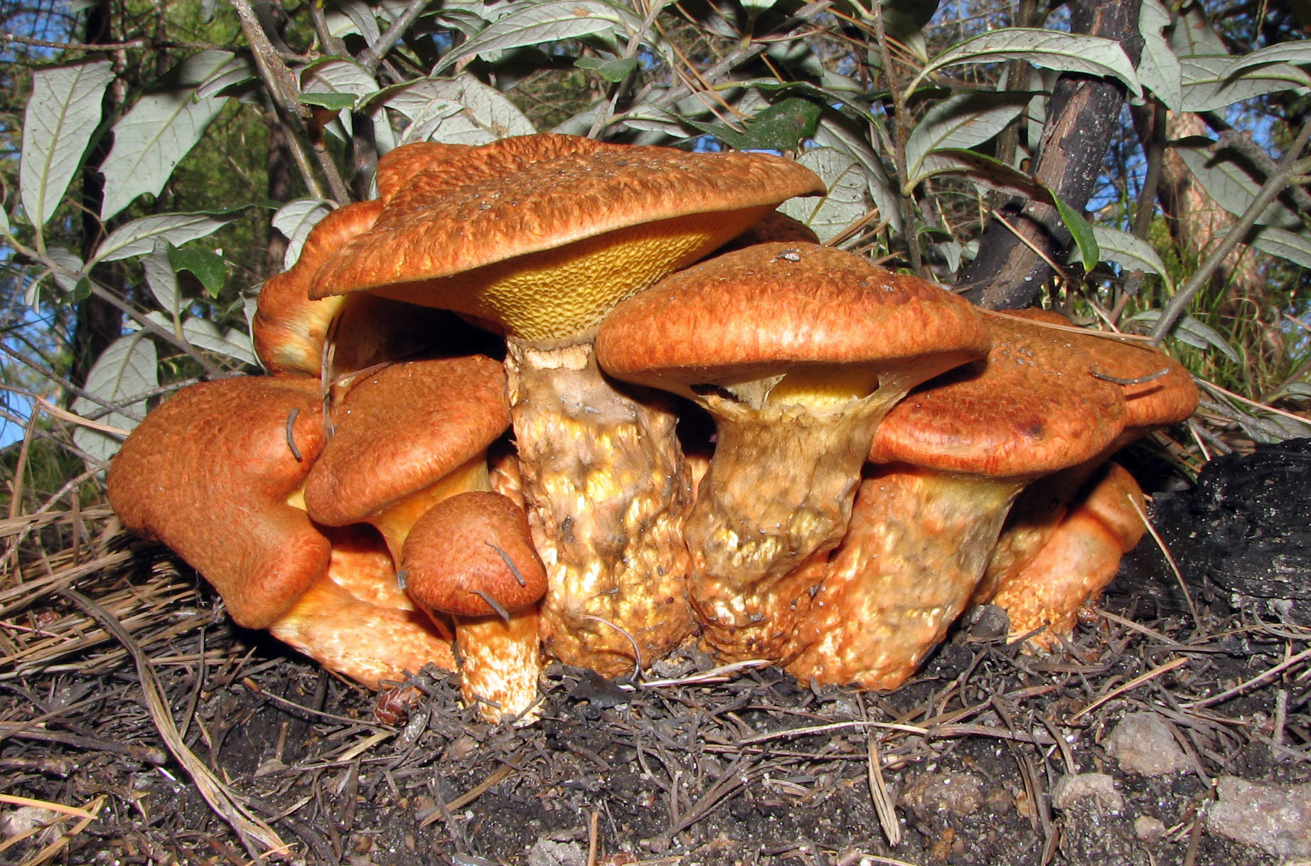 Image of Western Painted Suillus