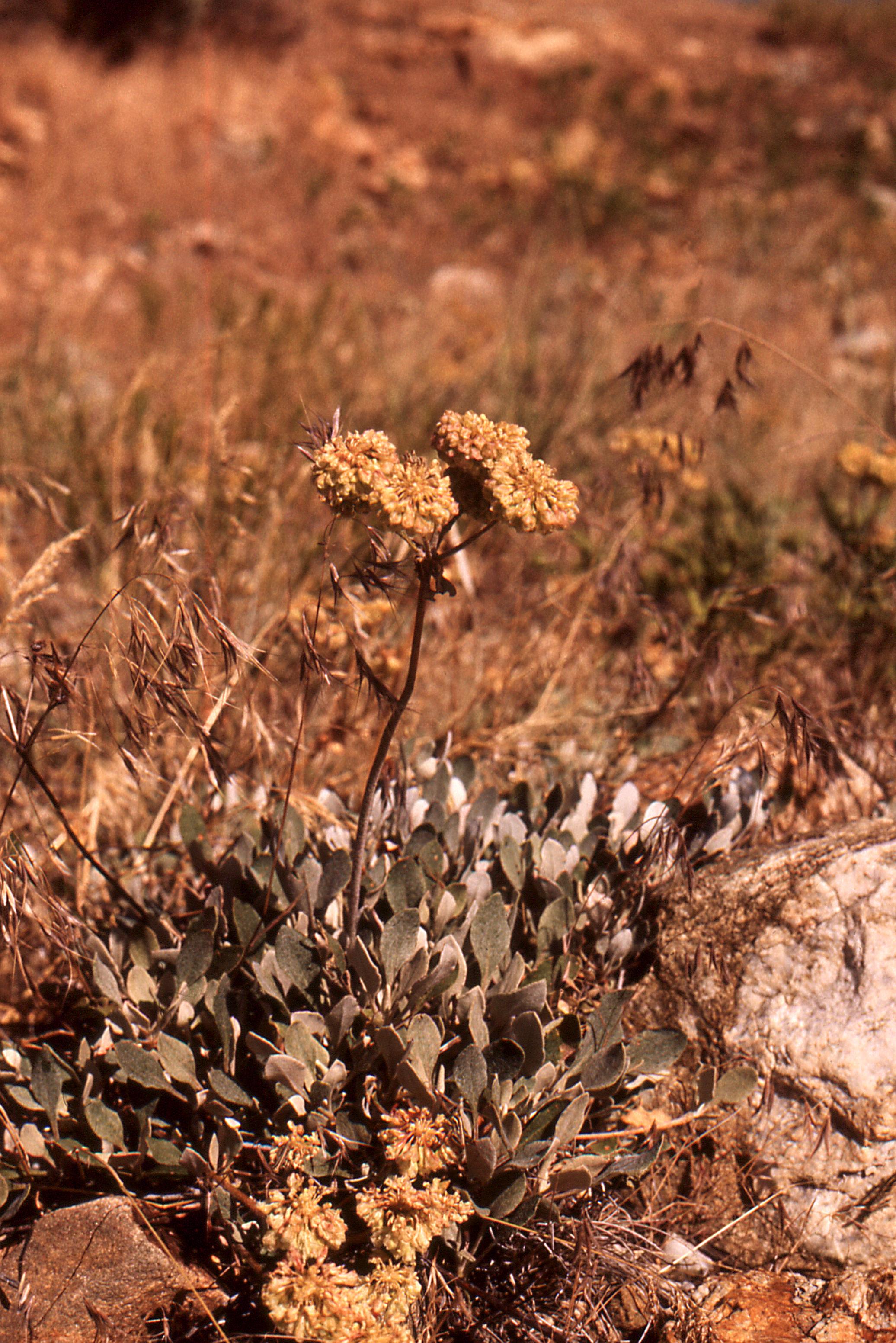 Image of sulphur-flower buckwheat