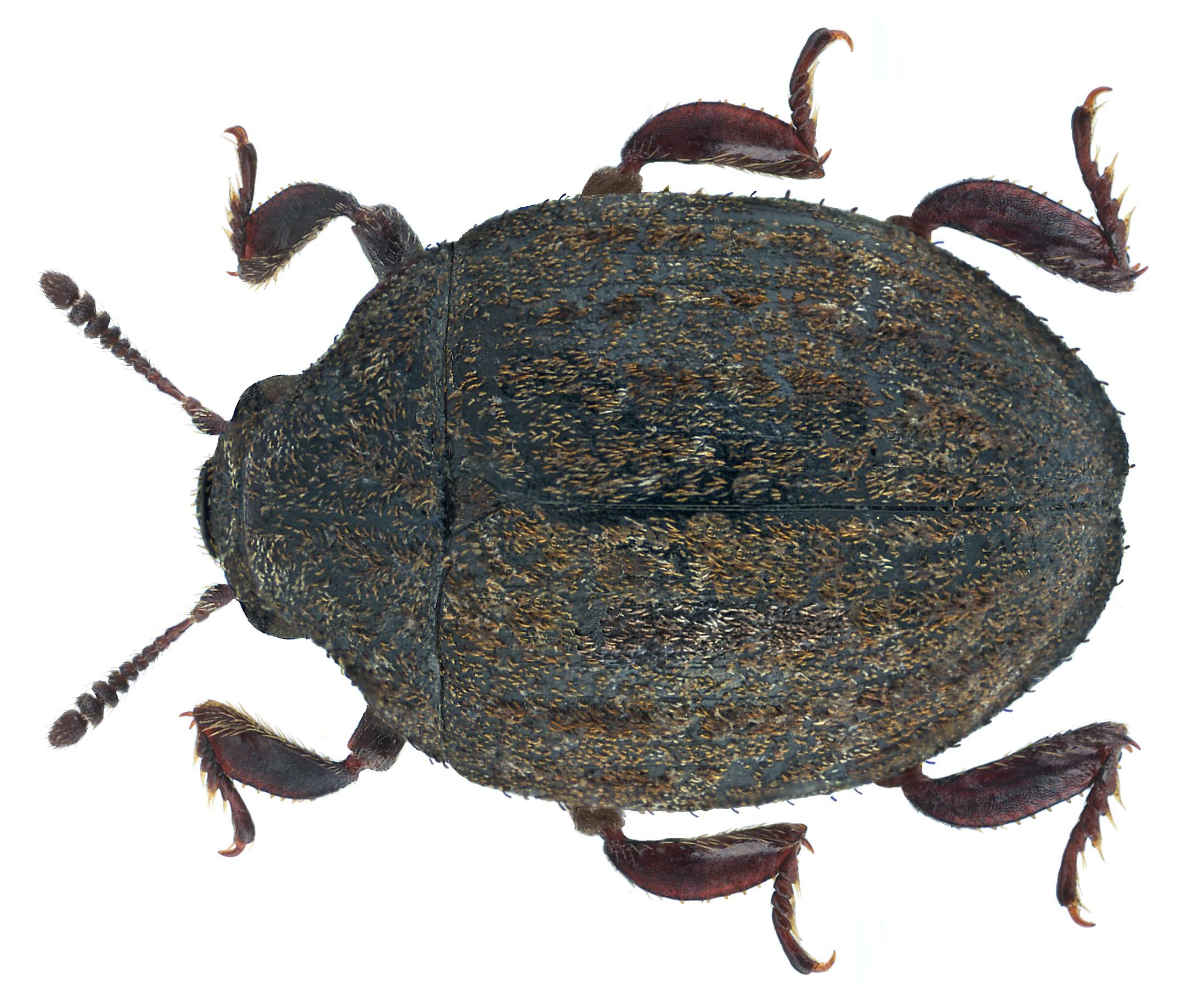 Image of <i>Porcinolus murinus</i> (Fabricius 1794) Fabricius 1794