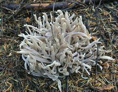 Image of <i>Clavaria vermicularis</i> Batsch
