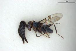 Image de <i>Epanusia bifasciata</i> Girault 1913