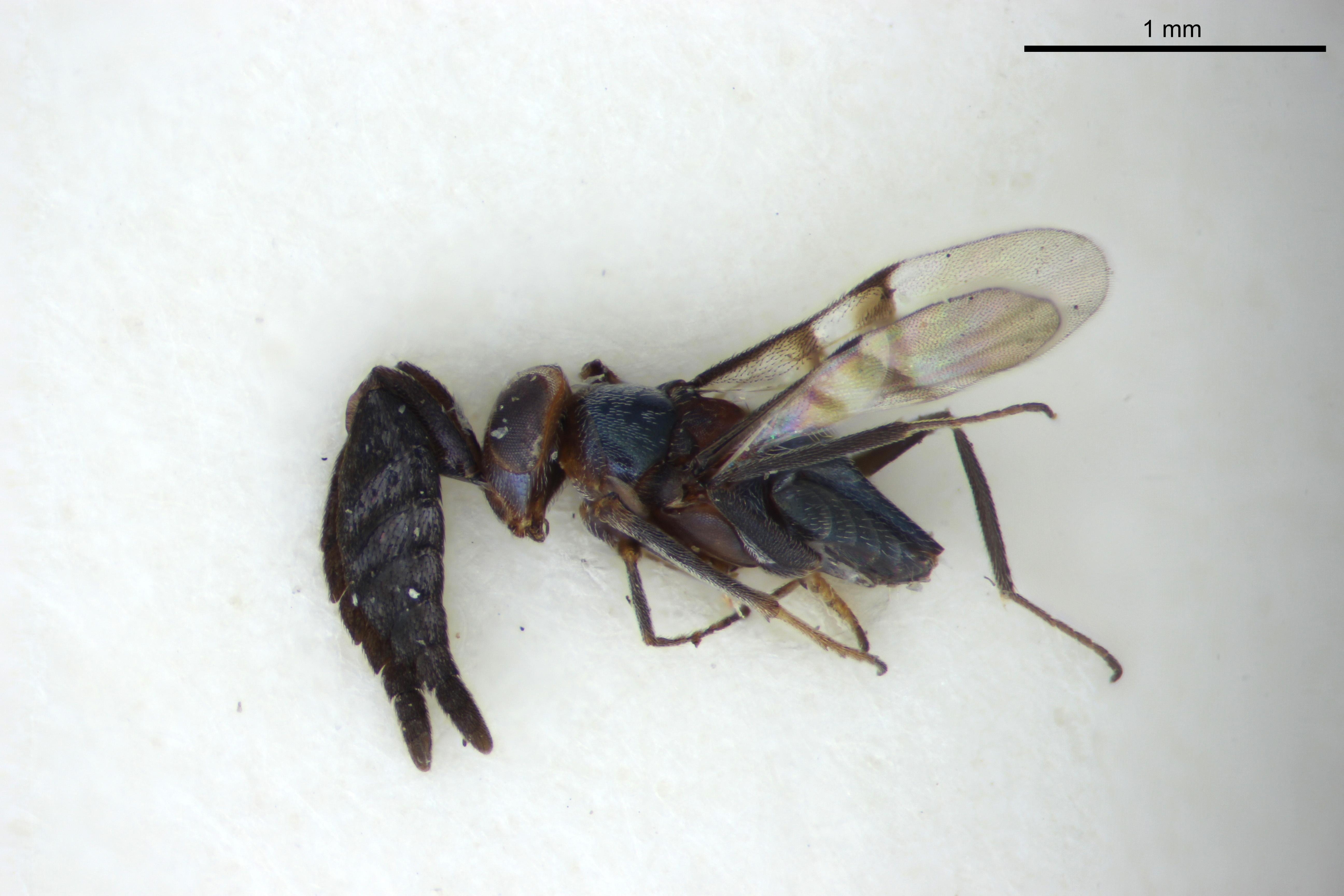 Image of <i>Epanusia bifasciata</i> Girault 1913