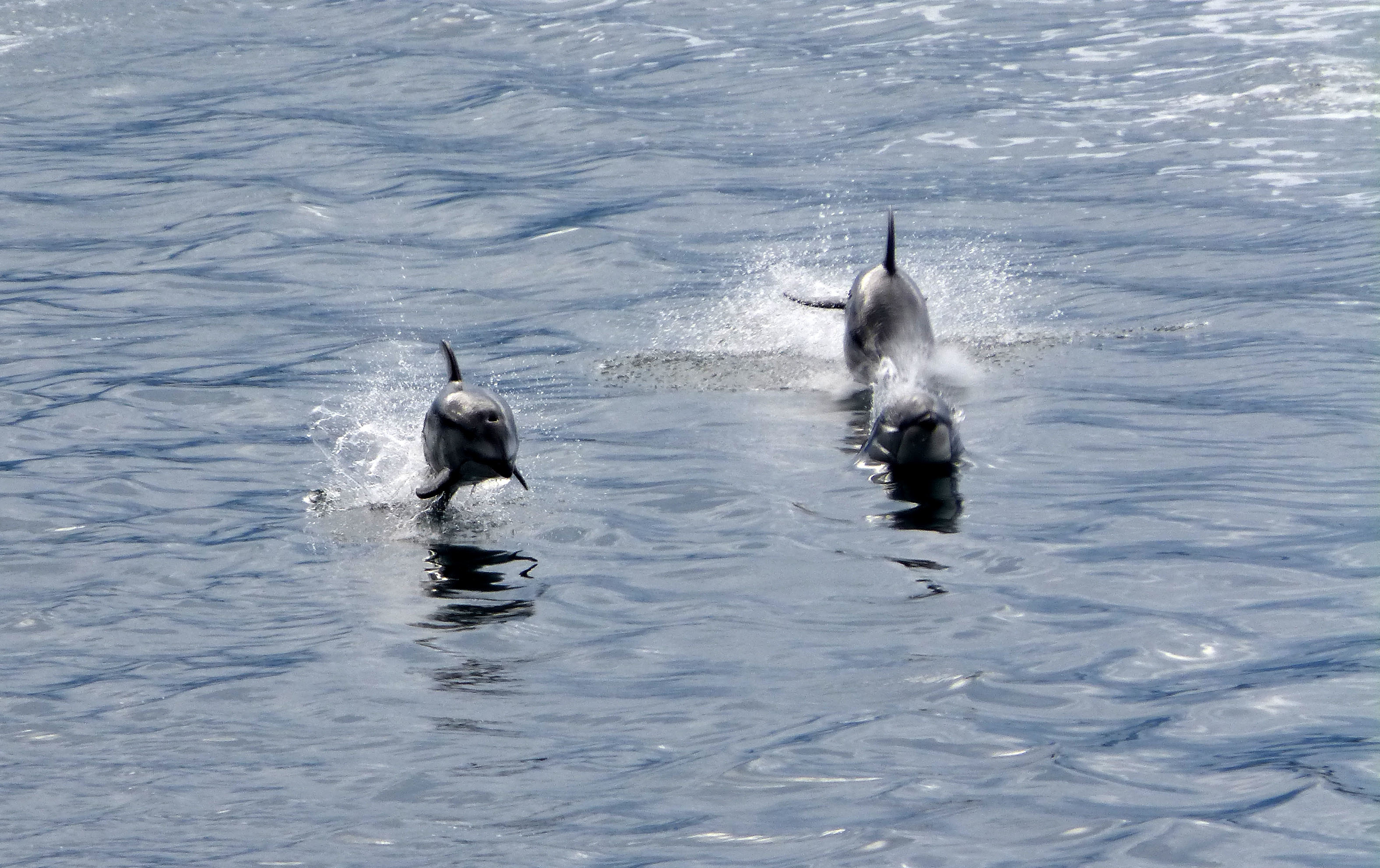 Image of Pacific White-sided Dolphin