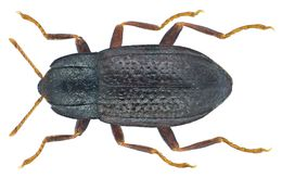 Image of <i>Esolus parallelepipedus</i> (Muller 1806) Muller 1806
