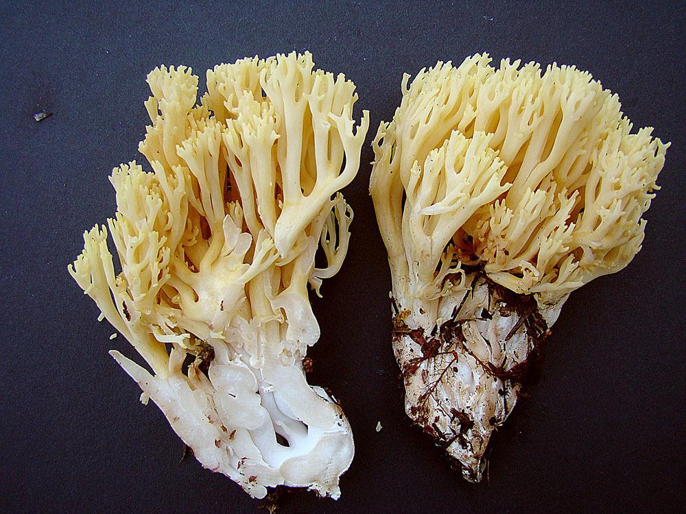 Image of <i>Ramaria cystidiophora</i> (Kauffman) Corner 1950