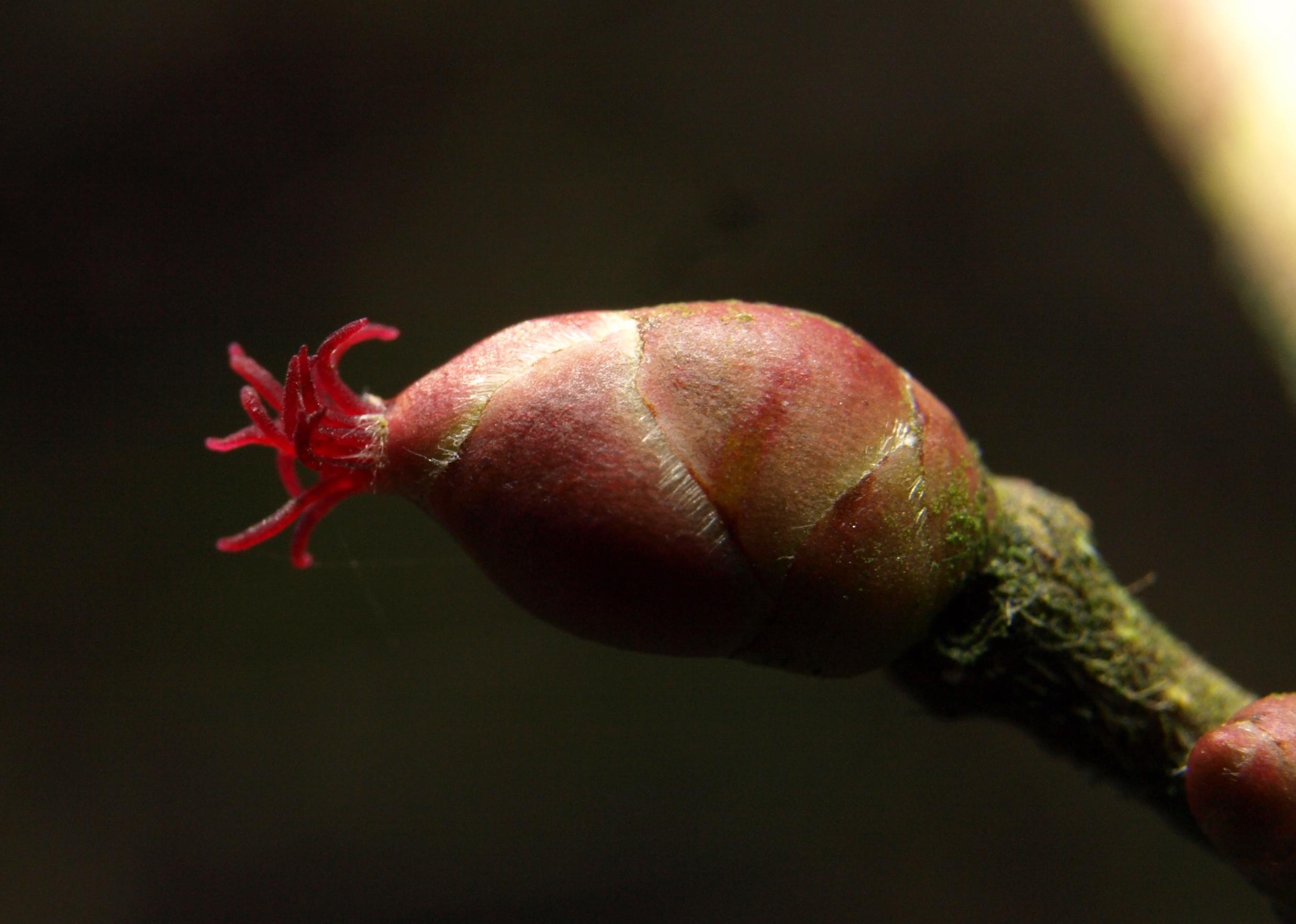 Image of <i>Corylus avellana</i> L.