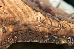 Image of <i>Ganoderma resinaceum</i> Boud. 1889