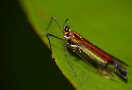 Image of <i>Miasa nigromaculata</i> Song, Webb & Liang 2014
