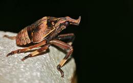 Image of <i>Prolepta ferocula</i> (Stal 1863)