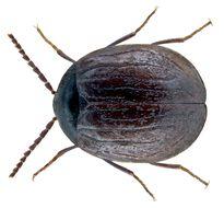 Image of <i>Eubria palustris</i> (Germar 1818) Germar 1818