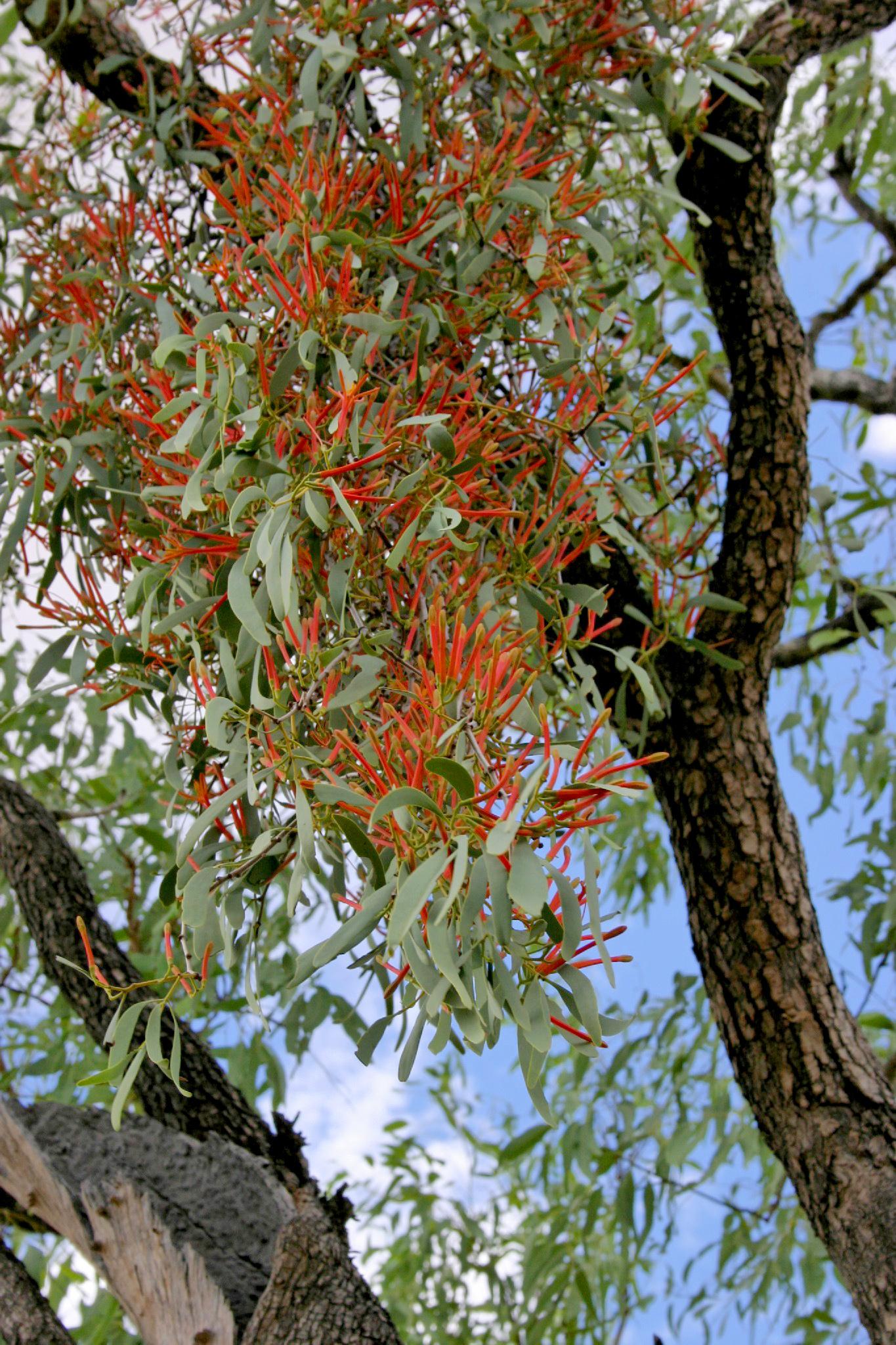 Image of <i>Amyema sanguineum</i> var. <i>pulchrum</i>