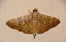 Image of <i>Glyphodes caesalis</i> Walker 1859