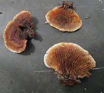 Image of <i>Gloeophyllum sepiarium</i> (Wulfen) P. Karst. 1882